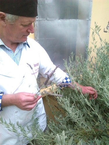 Picking Lavender from the garden to add some extra flavour!